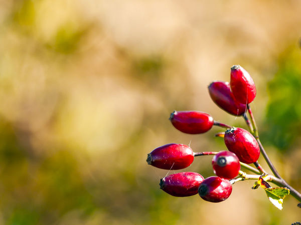 Copy Space Autumn Fruits Backgrounds Environment Floral Food Food And Drink Freshness Fruit Growth Hip Hips Homeopathy Medicinal Plant Nature Red Red Fruits Rosa Rosa Canina Rosa Canina Hips Space For Text Vitamin Vitamin C Wild Rose Wild Rose Hip