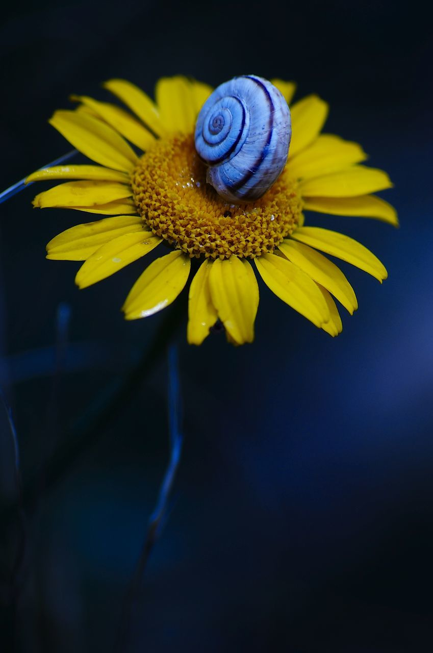 flower, fragility, petal, beauty in nature, yellow, nature, freshness, flower head, no people, close-up, growth, plant, outdoors, blooming, black background, day