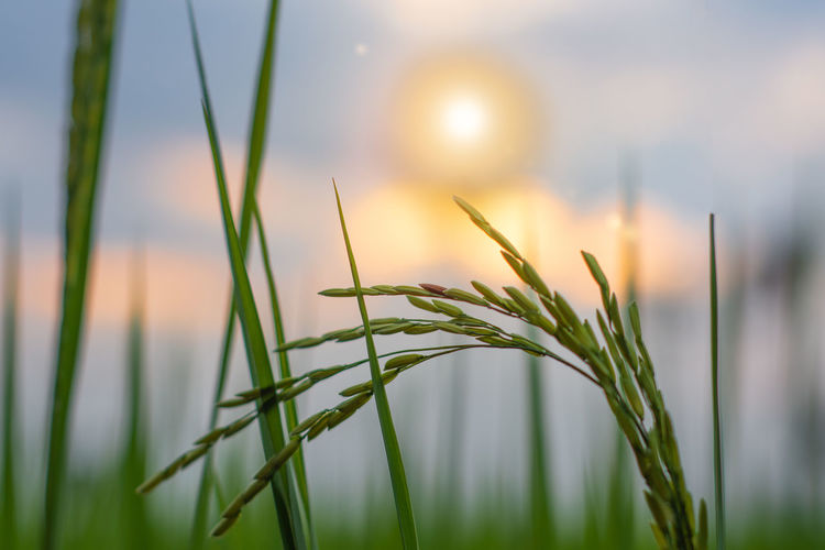 Close-up of crop growing on field during sunset