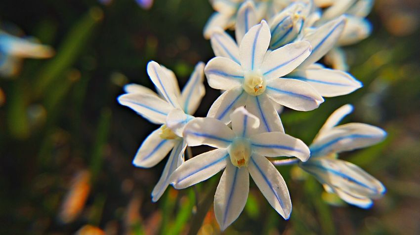 Beauty In Nature Blooming Close-up Day Dortmund Flower Flower Head Focus On Foreground Fragility Freshness Growth In Bloom Nature No People Outdoors Petal Plant Pollen Rombergpark Scilla Selective Focus Skilla Skilla Flower Stamen White Color