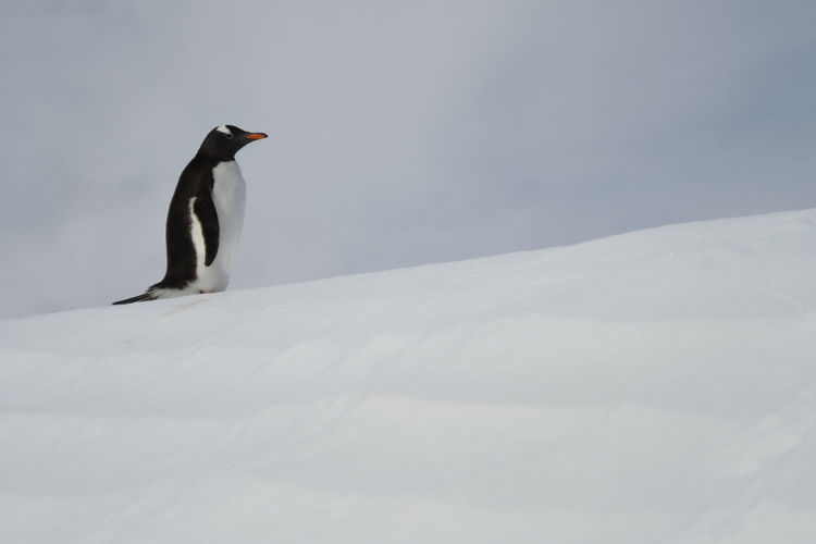 Side View Of Penguin On Snow