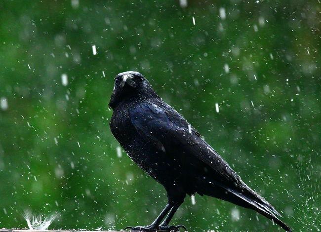 Bird No People Wet Water Raven - Bird Rain Cold Temperature Self Control