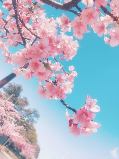 Beauty In Nature Flower Sky Pink Color Springtime No People Day Cherry Blossom 日本 Japan 青空 Cute 花 Pink Pink Flower ピンク 春 河津桜 Spring 桜 可愛い Season