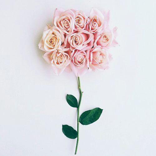 Rose🌹 Rose♥ Pink Rose Pink Roses 🌹