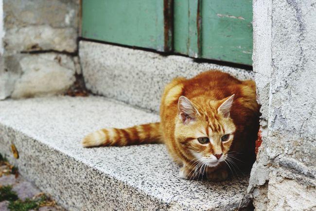 Gera Cat Tiger