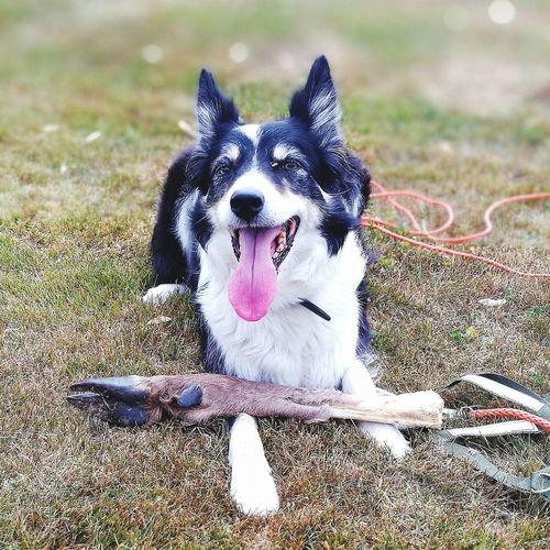 Border Collie Gjeterhund Tracking Workingdog Satisfied  Pets Protruding Dog Portrait Sticking Out Tongue Animal Tongue Close-up