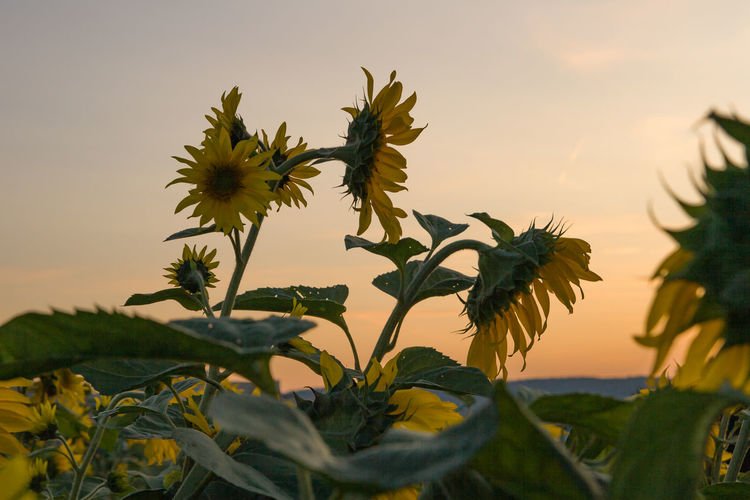Close-up of sunflower against sky during sunset