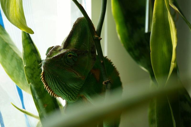 Green Green Color Chameleon Animal Themes Animal Head  Animal Body Part Chameleon Green Beautiful Chameleon_collection Chameleons Chameleon Spirit Chamel Pet Portraits