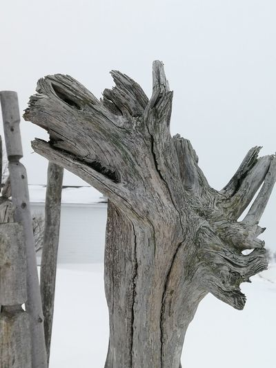 Natural Shapes Driftwood Winter Wolf Art Artwood Nature No People Outdoors