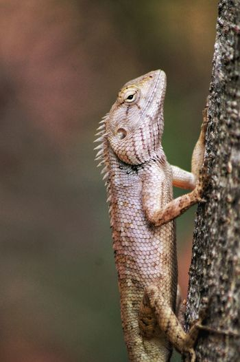 Close-Up Of Oriental Garden Lizard On Tree Trunk