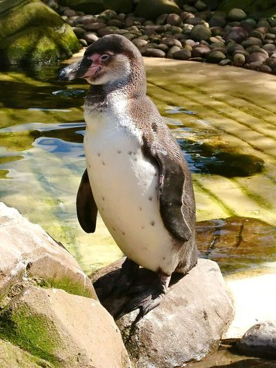Water Animal Wildlife Animals In The Wild One Animal Penguin Animal Themes No People Beach Nature Sea Life Day Underwater Bird Outdoors Sea Mammal Swimming UnderSea Close-up Penguins Penguin Head