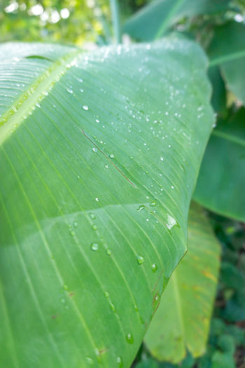 Fresh green banana leaf with water drop in the morning. Abstract Backgrounds Beauty Beauty In Nature Close-up Colors Detail Enviroment Forest Fresh Freshness Garden Green Growth Leaf Leaves Nature Outdoors Raining S Sea Seaon Spring Water Waterfront