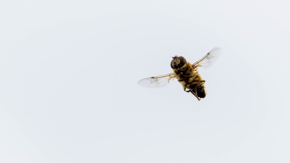Sssssss SEL90M28G Sony A6000 Schwebefliege Bee Insect Invertebrate Animal Animals In The Wild Copy Space Animal Themes Animal Wildlife One Animal Animal Wing Close-up White Background Fly No People Day Nature