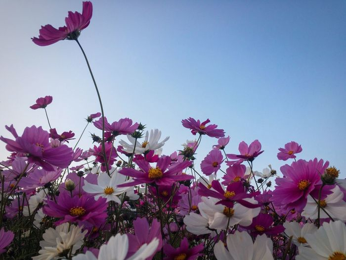Cosmos Flower Twilight Flowering Plant Flower Fragility Beauty In Nature