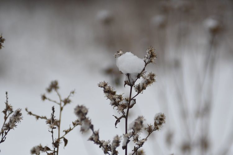 Amy Boyle Photography EyeEm Selects Plant Focus On Foreground Flower Beauty In Nature Flowering Plant Vulnerability  Fragility Nature Growth Close-up No People Freshness Cold Temperature Day Tree Winter Plant Stem Tranquility Snow
