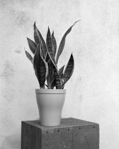 Home Developing Film Photography Pentax 67ii Analogue Photography Simplicity Blackandwhite Vrouwentong Sansevieria Sansevieria Trifasciata Mother In Laws Tongue Plant Potted Plant Growth Plant Part Leaf Wall - Building Feature Nature