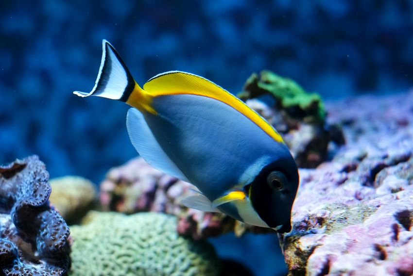 Powder Blue Tang Surgeonfish Fish Aquarium Traveling Theme Park Tampere Finland