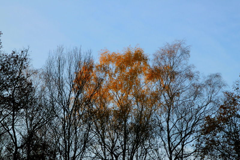 Autumn Autumn Colors Branches Colors Trees Bare Tree Beauty In Nature Blue Sky Branch Branches And Sky Clear Sky Close-up Day Forest Growth Leaves Lit Low Angle View No People Orange Leaves Outdoors Tree Upper Branches