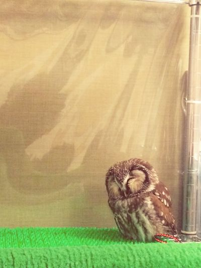 Can you see how cute this little owl is? とてもかわいいでしょう ;) Owl in 福岡