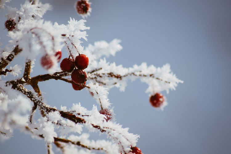 Cold Temperature Winter Plant Nature Snow No People Tree Day Close-up Sky Fruit White Color Frozen Branch Beauty In Nature Focus On Foreground Healthy Eating Outdoors Low Angle View Ice Softness