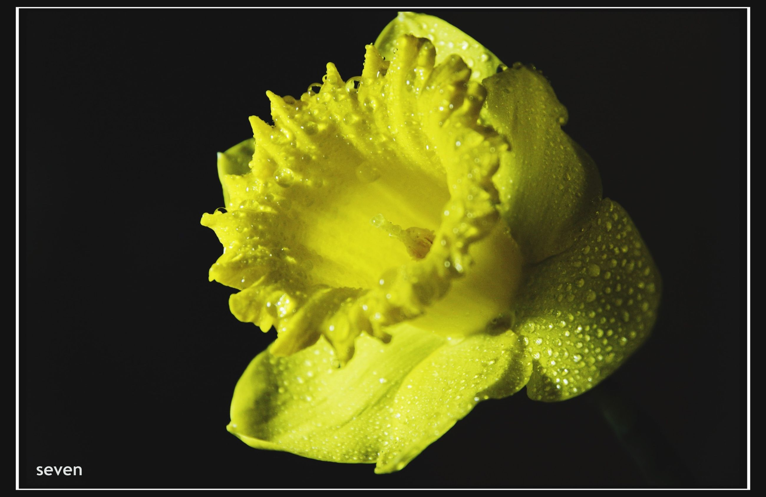 freshness, drop, flower, studio shot, close-up, wet, fragility, water, flower head, yellow, petal, black background, transfer print, beauty in nature, single flower, auto post production filter, nature, growth, dew, water drop