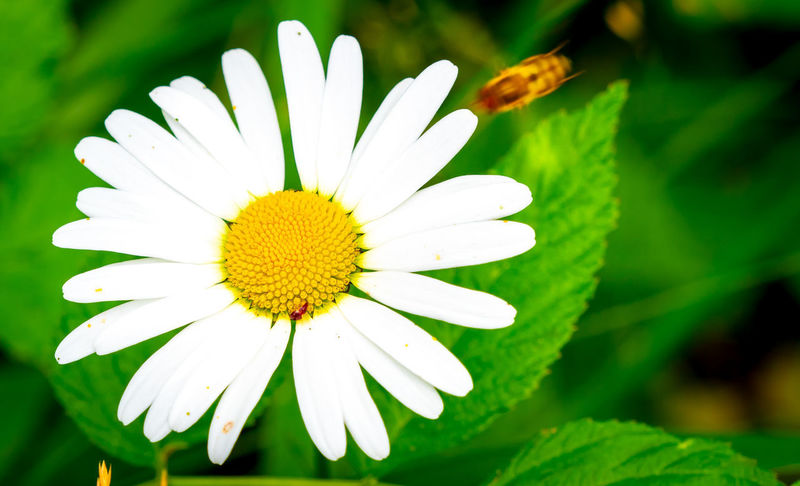 Finland Finnland In Summer Nature Beauty In Nature Close-up Day Flower Flower Head Freshness Insect Nature No People Plant Pollen White Color Yellow