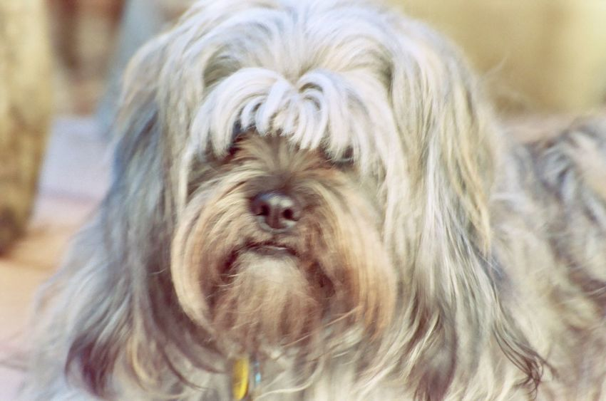 this is Kona a rescue dog Animal Hair Animal Themes California Check This Out Close-up Day Dog Domestic Animals Faith Focus On Foreground Lhasa Apso Long Hair Maltese Mammal Mastiff Mutt Mutts Are The Best Nature No People Nonsporting One Animal Outdoors Pets Rescue Dogs Shih Tzu