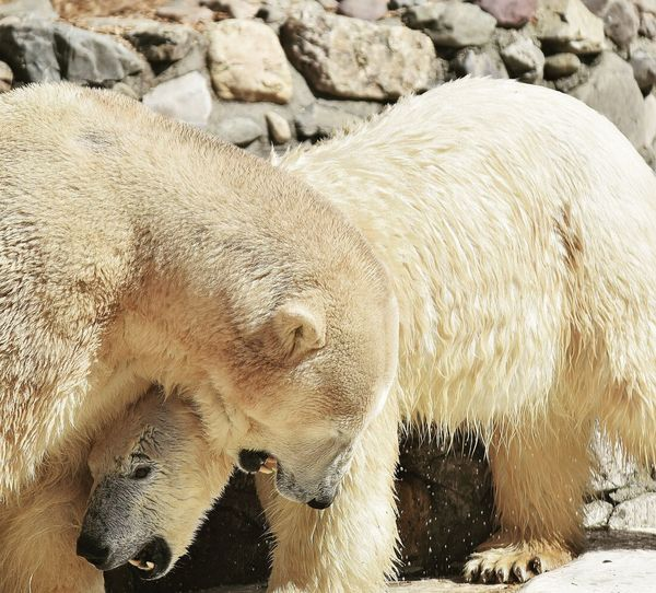 polar bears playing Polar Bear Polar Bears Playing Polar Bears Bears Bear Ours Ours Polaire Ours Polaires Prilaga Beautifull Animal Protection Climate Change(global Warming) Climate Change Réchauffement Climatique Animal Themes Close-up