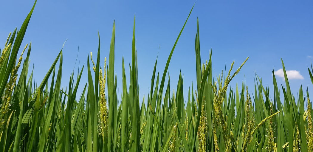Close-Up Of Fresh Corn Field Against Clear Blue Sky