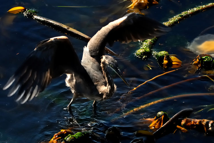 Blue Heron walking on kelp with wings spread looking for food. Bird Photography Birds Of EyeEm  Blue Heron Blue Heron Bird Animal Themes Animal Wildlife Animals In The Wild Beauty In Nature Bird Close-up Day Heron Lake Motion Nature No People One Animal Outdoors Spread Wings Swimming Water