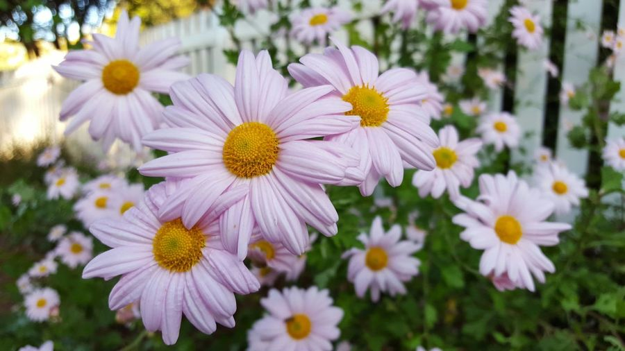 It looks like Spring, but reality, it was Fall. Flowers Florals Pinkdasies Daisies Garden Plants