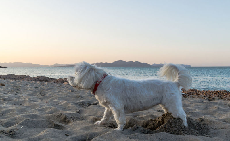 Maltese Dog Animal Themes Beach Beauty In Nature Clear Sky Day Dog Domestic Animals Horizon Over Water Maltese Malteser Mammal Nature No People One Animal Outdoors Pets Sand Scenics Sea Sky Standing Sunset Water Pet Portraits