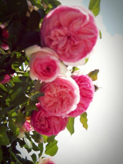 Pink Flowers Four Big Roses Flowers, Flower Pink Four-fives Pink Colored Big Flowers Close Up Vignette