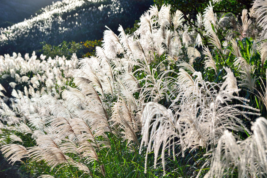 Autumn hill, open Manshan flowers, like snowflakes beautiful. Autumn Flowering Miscanthus Agriculture Beauty In Nature Broad View Close-up Day Fall Field Flower Flower Head Fragility Freshness Grass Growth Mountain Mountain Flowers Nature No People Outdoors Plant Sunny Weather Wind Wire