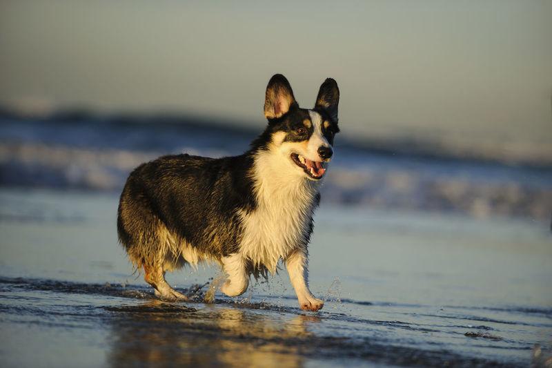 Dog running in sea