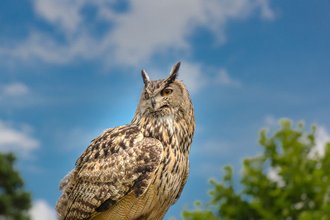 Eagle Owl  Alertness Animal Head  Animal Themes Beauty In Nature Bird Of Prey Birds Birds Of EyeEm  Birds_collection Blue Close-up Cloud Cloud - Sky Day Eye4photography  EyeEm Best Shots EyeEm Nature Lover Focus On Foreground Low Angle View Malephotographerofthemonth Mammal Nature No People Outdoors Sky Pet Portraits