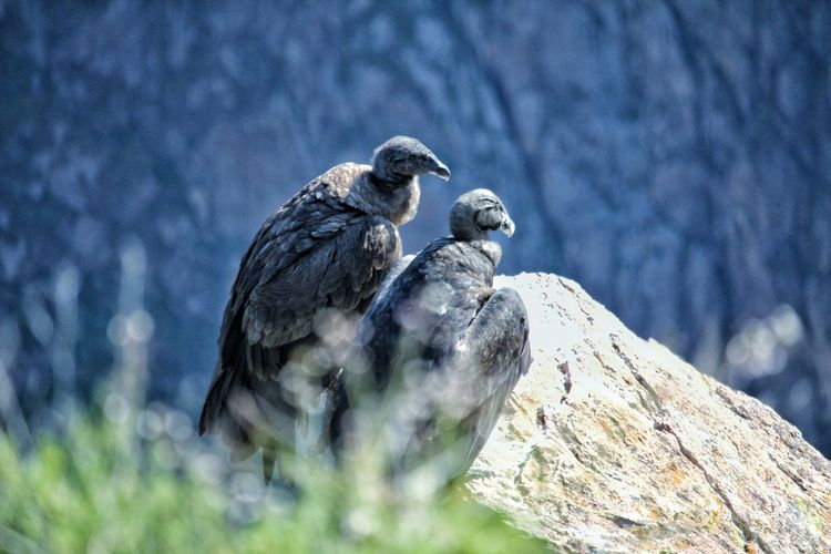 two condors. Partener Selection Bird Of Prey Bird Vulture Perching Owl Young Animal Sky Close-up