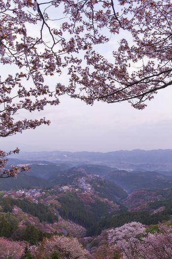 Yoshino mountain cherry tree Cherry Blossoms Spring Landscape Yoshinoyama Nara,Japan Nara Nature Japan World Heritage Flower Pink Color Tree Sea Of clouds