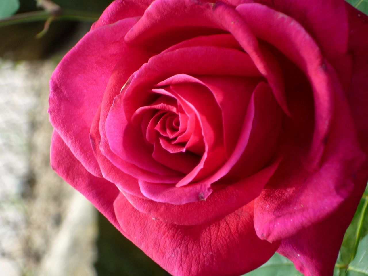 Close-up of dark pink rose