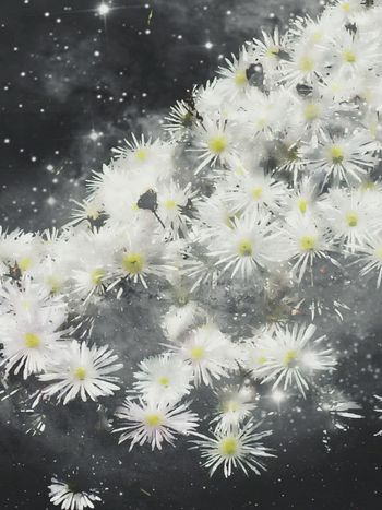 Flowers ICE PLANT Space Flower Constellation