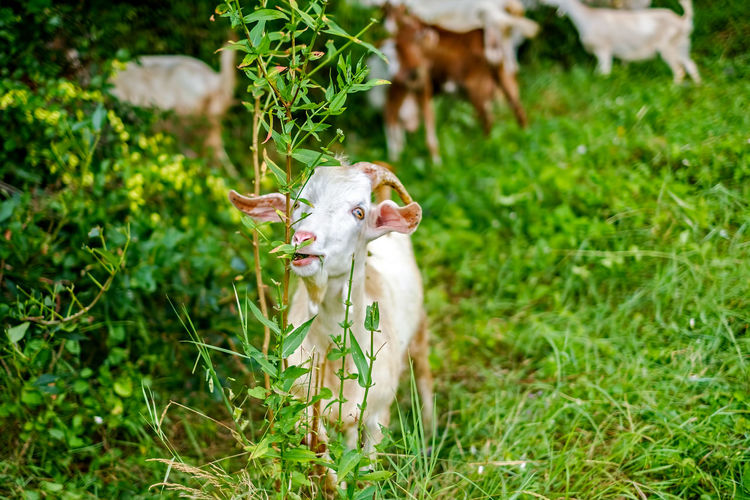 goats with horns grazing Goat Goats Grazing Animal Themes Day Domestic Animals Field Goat Grazing Goat Life Goats Life Goats On The Farm Grass Green Color Growth Mammal Nature No People One Animal Outdoors Young Animal The Great Outdoors - 2018 EyeEm Awards