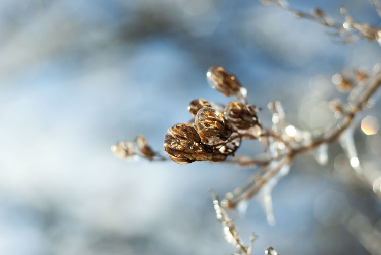 Lilac seed pods are encased by ice in winter. Blue Branch Brown Cold Freeze Frost Frozen Ice Ice Covered  Icicle Icicles Icy Lilac Natural Nature Outdoors Plant Plants Season  Seasonal Seasons Seed Pod Snow Weather Winter