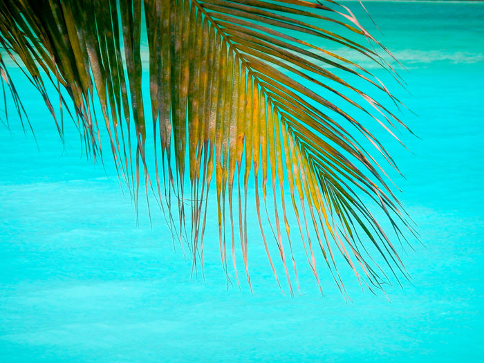 Palm Frond against a turquoise blue water background Beauty In Nature Blue Close-up Day Leaf Marine Nature No People Outdoors Palm Leaf Palm Tree Plant Sea Swimming Pool Tranquility Tree Tropical Climate Turquoise Colored UnderSea Underwater Water