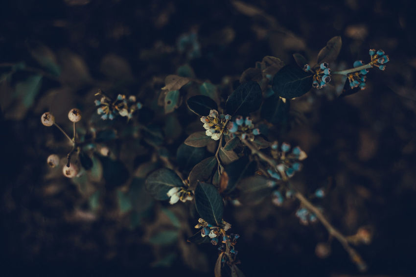 Blueberry tree Beauty In Nature Blossom Blue Flowers Blueberries Blueberry Close-up Day Dramatic Flower Flowers From Top Fruit Garden Garden Photography Greenery Growth Nature Nature Nature_collection No People Outdoors Plant Plant Plants And Flowers Sweet