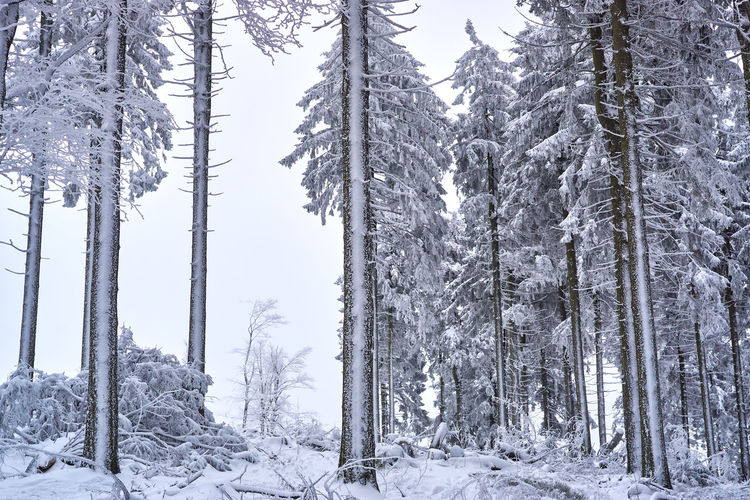 Beauty In Nature Cold Temperature Day Forest Frozen Growth Landscape Nature No People Outdoors Pine Tree Scenics Snow Tranquil Scene Tranquility Tree Tree Trunk Weather Winter WoodLand