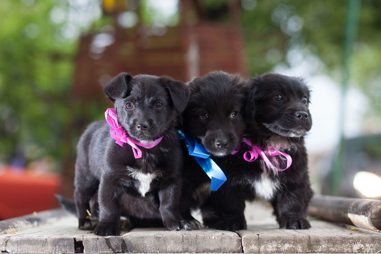 Close-Up Of Black Puppies Standing On Floorboard
