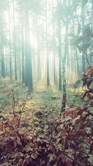 Tree Forest Nature Growth Tree Trunk Beauty In Nature No People Tranquility Foggy Outdoors Sunlight
