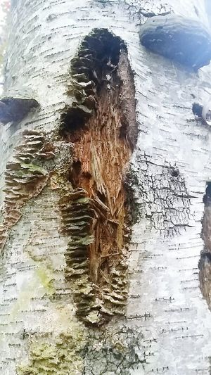 Birch Tree Tree Wood Bark Wood Pecker Holes Close Up Texture Plants Moss Mushrooms Nature Beautiful Fungi