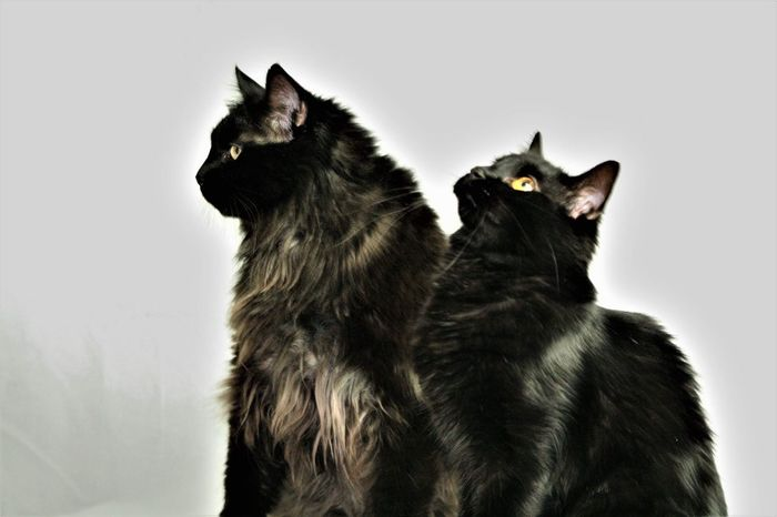Fripouille & Moumoune Chat Chats Chat Noir
