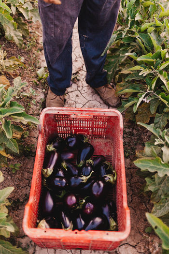 Low section of person standing against eggplants in basket